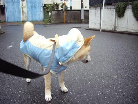 柴犬ズン画像041010