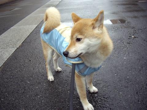 柴犬ズン画像041016