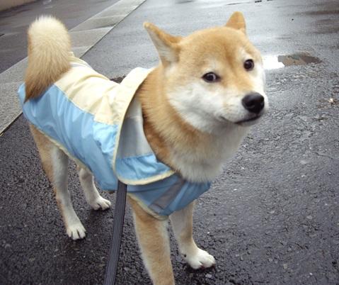 柴犬ズン画像041018