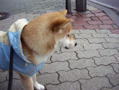 柴犬ズン画像041004