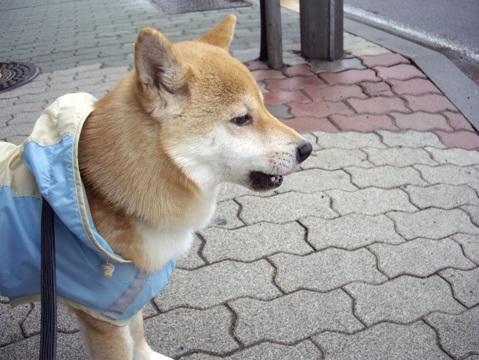 柴犬ズン画像041021