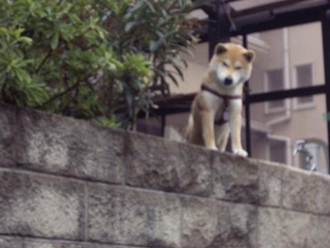 柴犬ズン画像041012