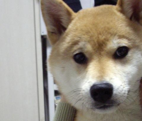 ズン画像柴犬ランキング04101