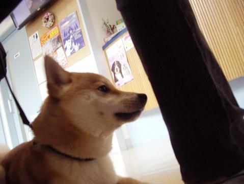 柴犬ズン画像041023