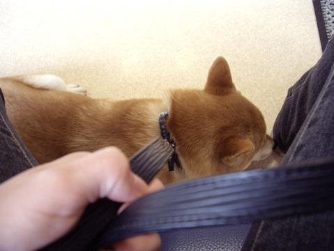 柴犬ズン画像041024