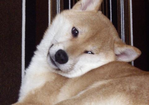 柴犬ズン画像041104