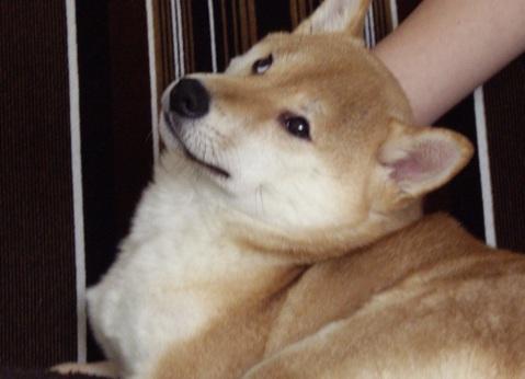 柴犬ズン画像041103