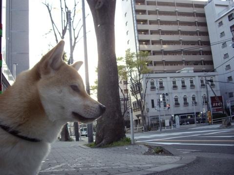 柴犬ズン画像041209