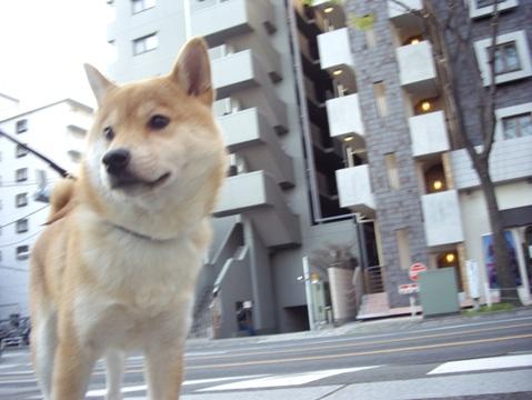 柴犬ズン画像041211