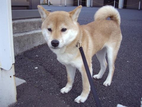 柴犬ズン画像041203