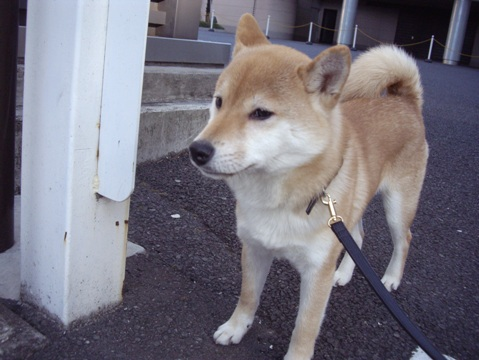 柴犬ズン画像041206
