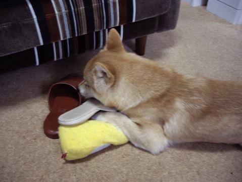 柴犬ズン画像041304