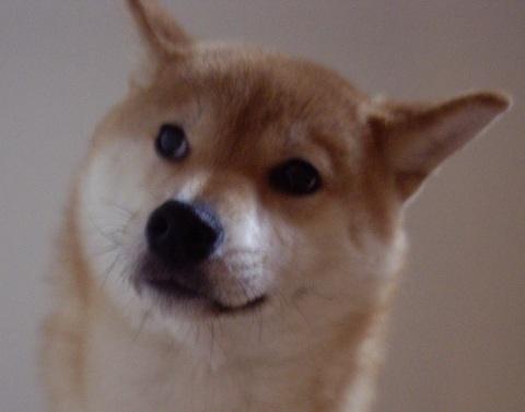 ズン画像柴犬ブログランキング0414