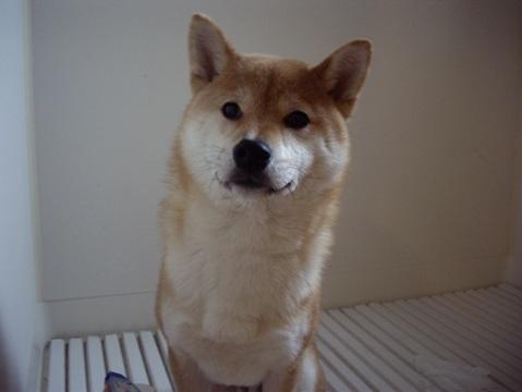 柴犬ズン画像041405