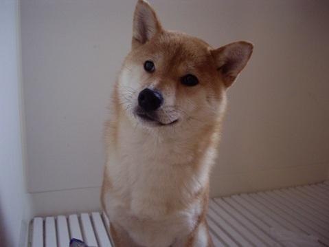 柴犬ズン画像041406