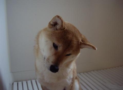 柴犬ズン画像041404