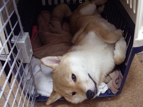柴犬ズン画像041506