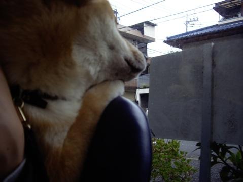 柴犬ズン画像041510
