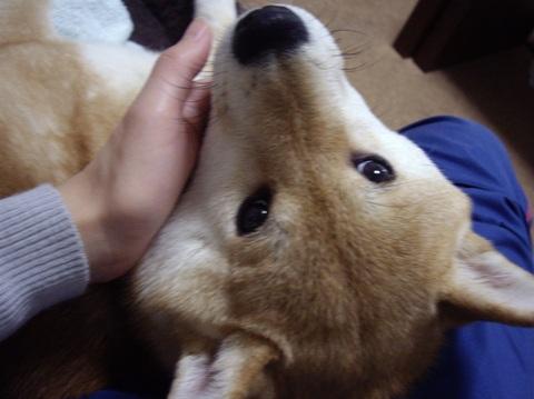 柴犬ズン画像041502