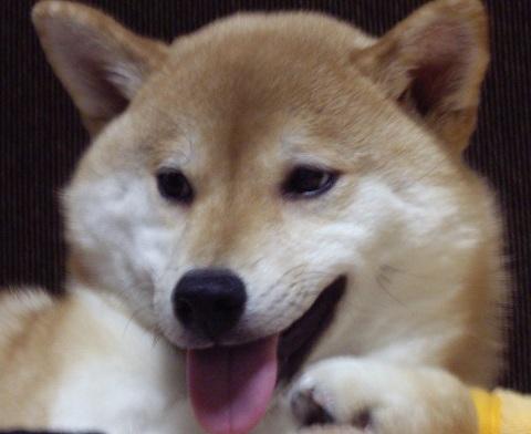ズン画像0417柴犬ランキングへ