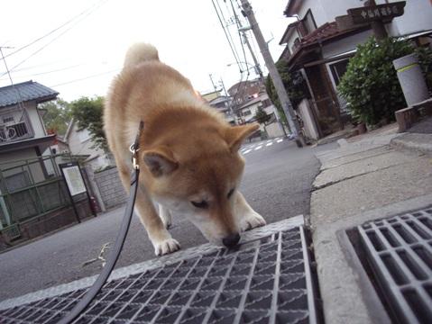柴犬ズン画像041702