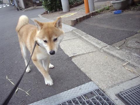 柴犬ズン画像041701