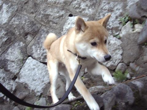柴犬ズン画像041707