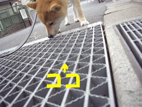 柴犬ズン画像042703