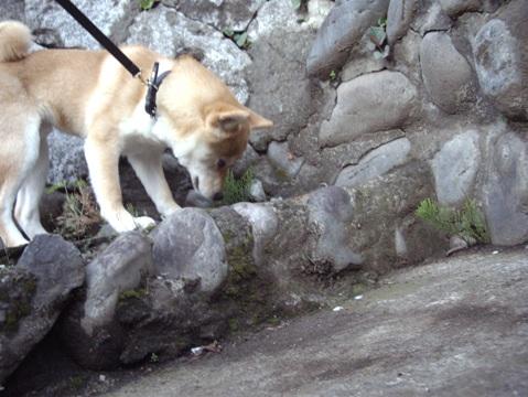 柴犬ズン画像041710