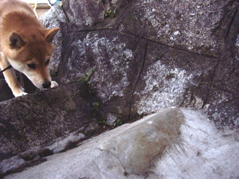 柴犬ズン画像041711