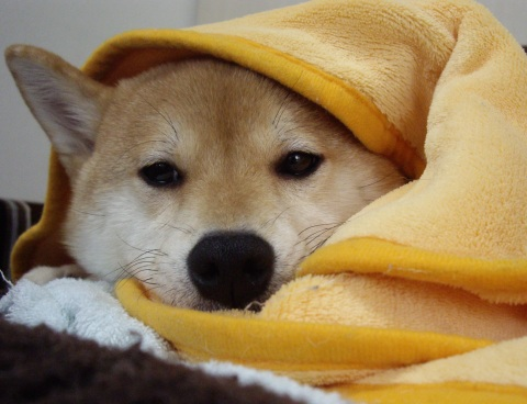 ズン画像0418柴犬ブログランキングへ
