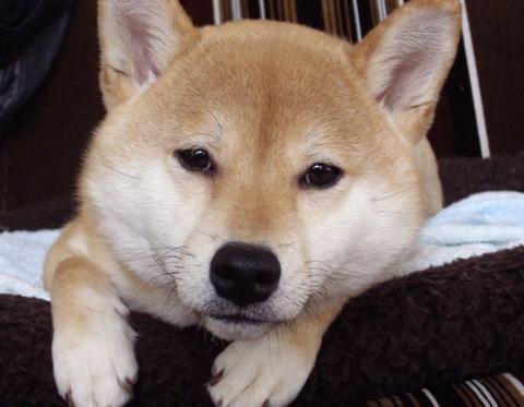 柴犬ズン画像041801