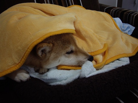 柴犬ズン画像041809