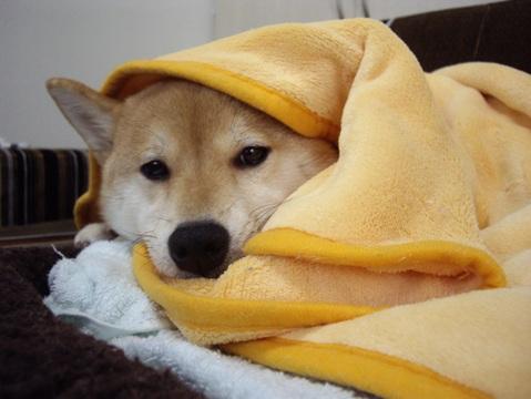 柴犬ズン画像041805