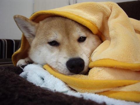 柴犬ズン画像041806