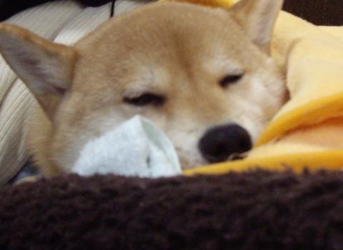 柴犬ズン画像041808