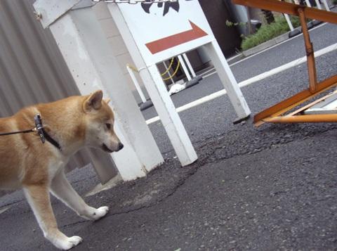 柴犬ズン画像041908