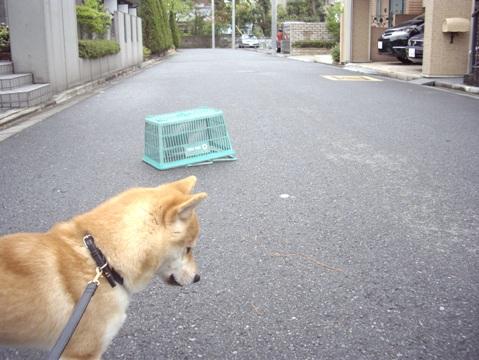 柴犬ズン画像041904