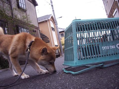 柴犬ズン画像041906