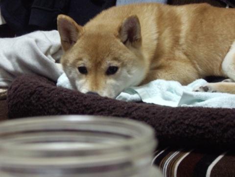 柴犬ズン画像0412002