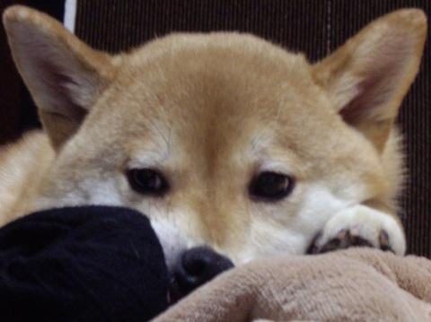 ズン画像0421柴犬ブログランキングへ