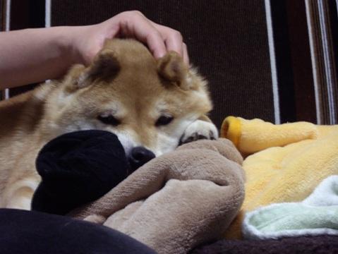 柴犬ズン画像042102