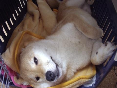 柴犬ズン画像042204