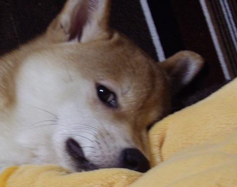 ズン画像0423柴犬ブログランキングへ