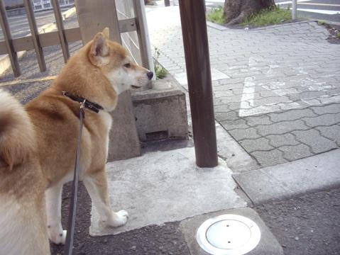 柴犬ズン画像042312