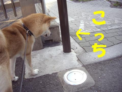 柴犬ズン画像042313