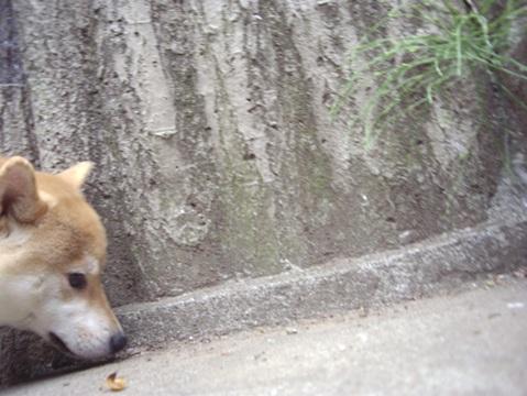 柴犬ズン画像042401