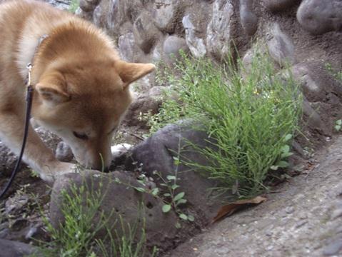 柴犬ズン画像042403