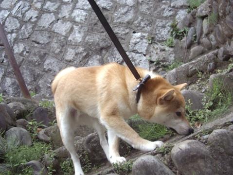 柴犬ズン画像042404