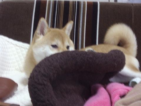 柴犬ズン画像042409